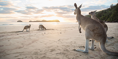 Kangaroos on a beach in Queensland